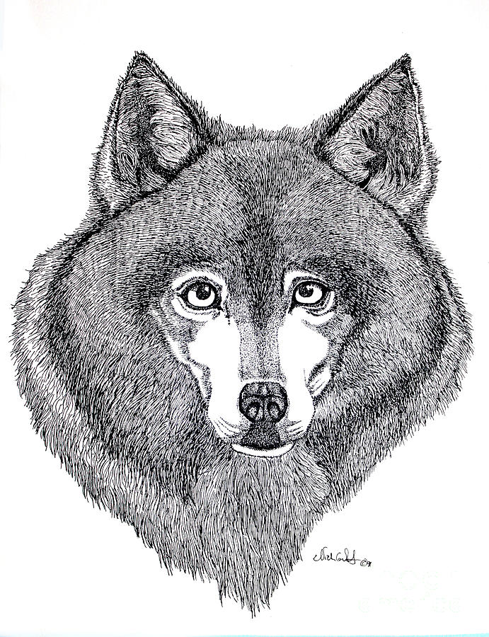 Alaskan Husky Drawing