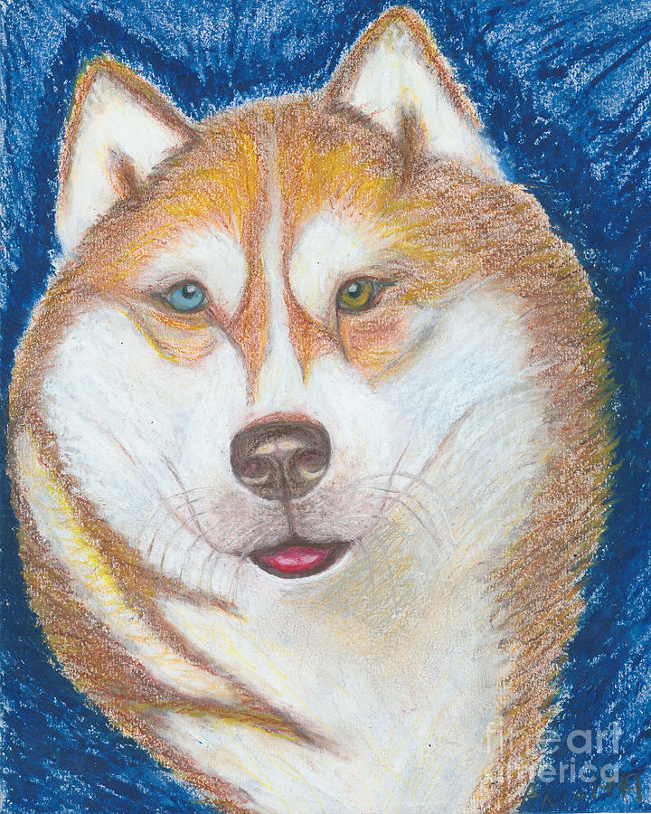 Alek The Siberian Husky Drawing  - Alek The Siberian Husky Fine Art Print