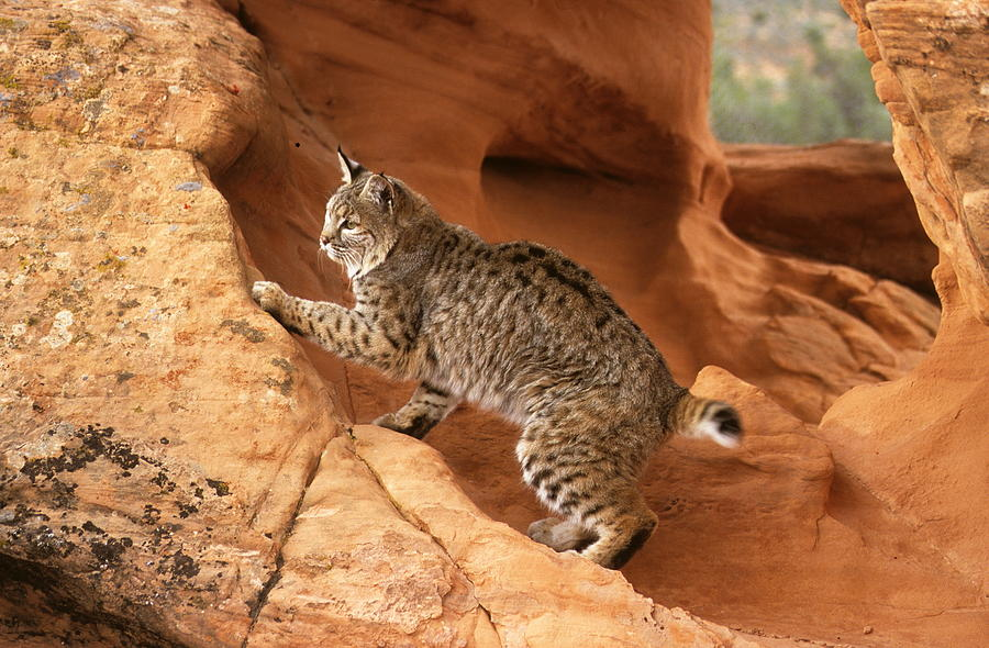 Alert Bobcat Photograph