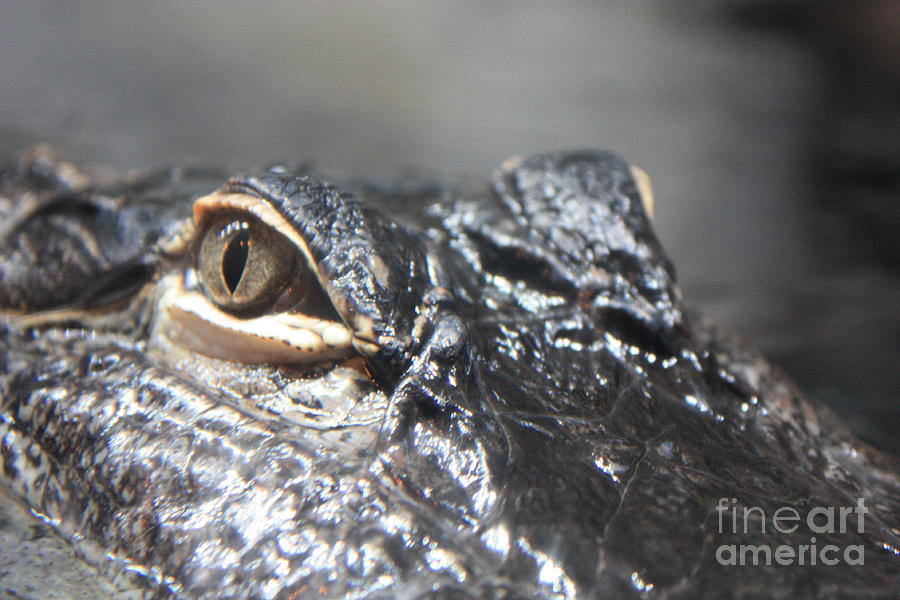 Alligator Eye Photograph  - Alligator Eye Fine Art Print