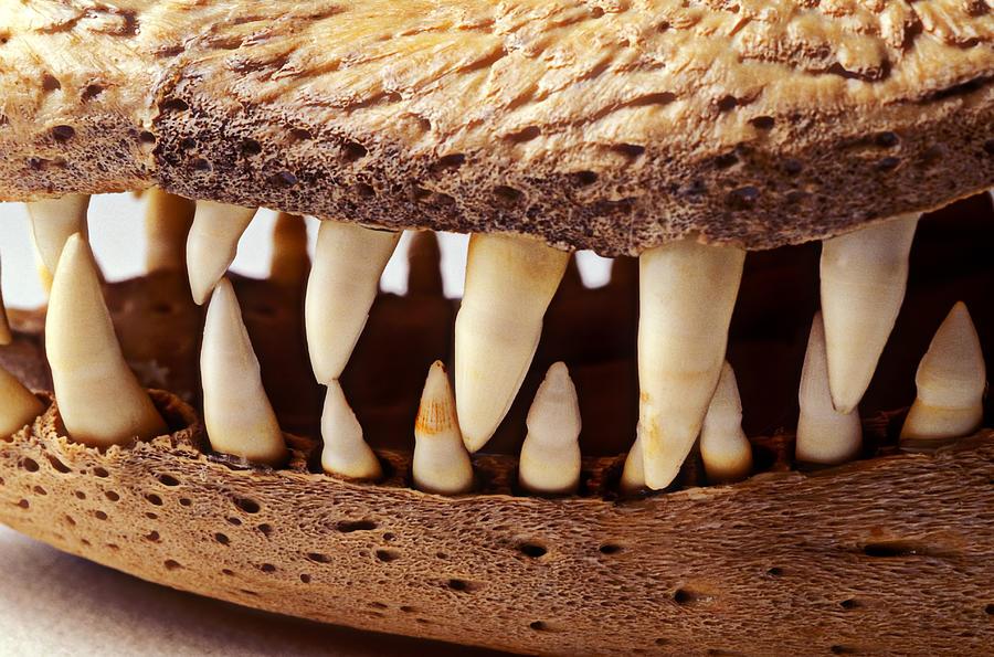 Alligator Skull Teeth Photograph - Alligator Skull Teeth by Garry Gay