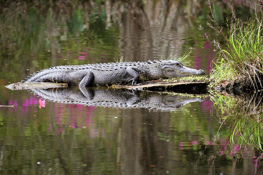 Alligator Sunbathing Photograph