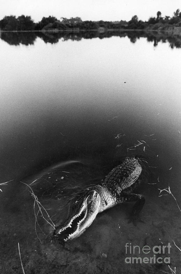 Alligator1 Photograph  - Alligator1 Fine Art Print