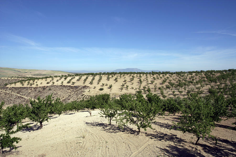 Almond Plantation Photograph