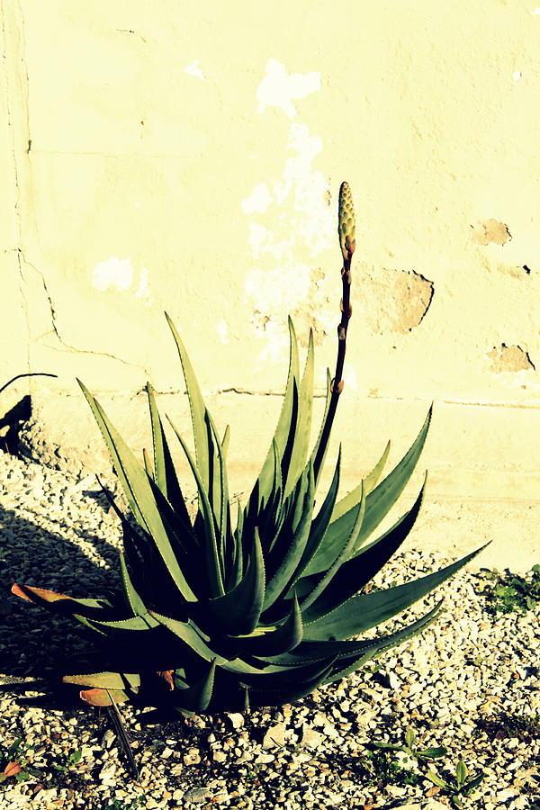 Aloe Photograph - Aloe by Laurel Heritage