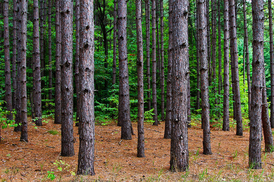 Alone Among The Pines Photograph  - Alone Among The Pines Fine Art Print