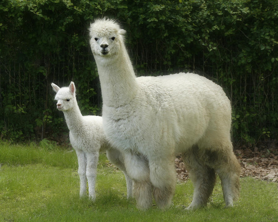 Alpaca And Foal Photograph