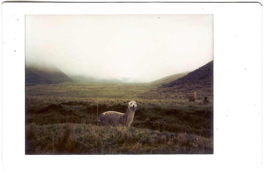 Horizontal Photograph - Alpaca by photography by Pamela Abad