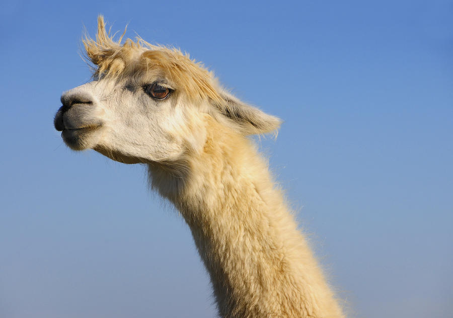 Alpaca Photograph