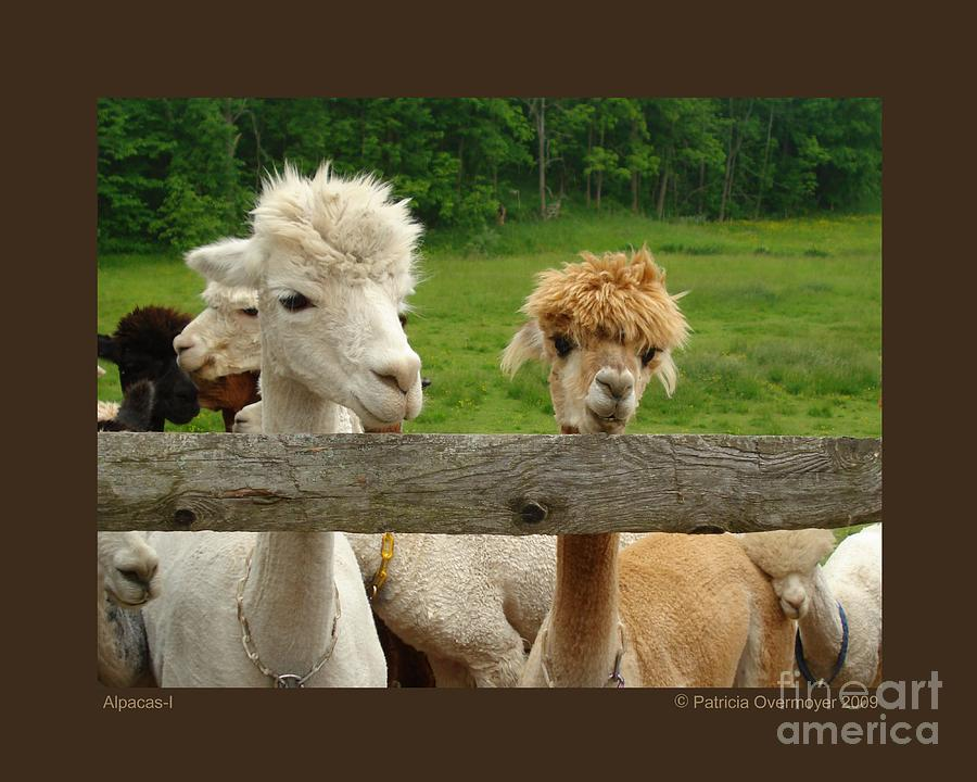 Animals Photograph - Alpacas-i by Patricia Overmoyer