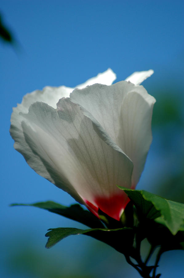 Althea Flower Photograph