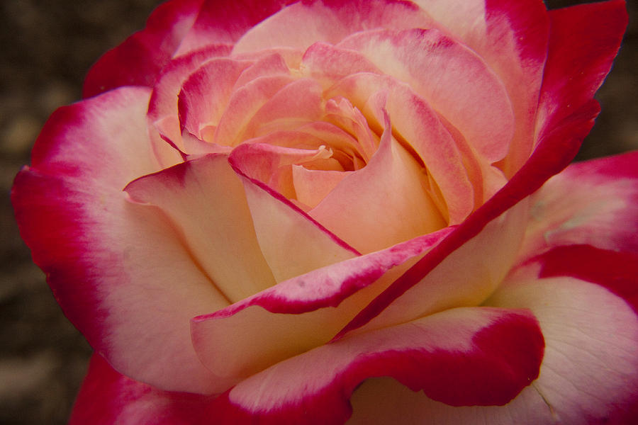 American Beauty Rose Photograph  - American Beauty Rose Fine Art Print