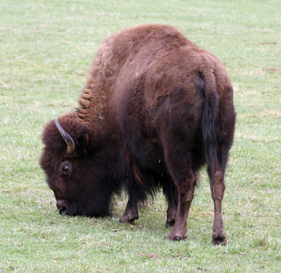 Difference Between Bison vs. Buffalo – Difference Wiki
