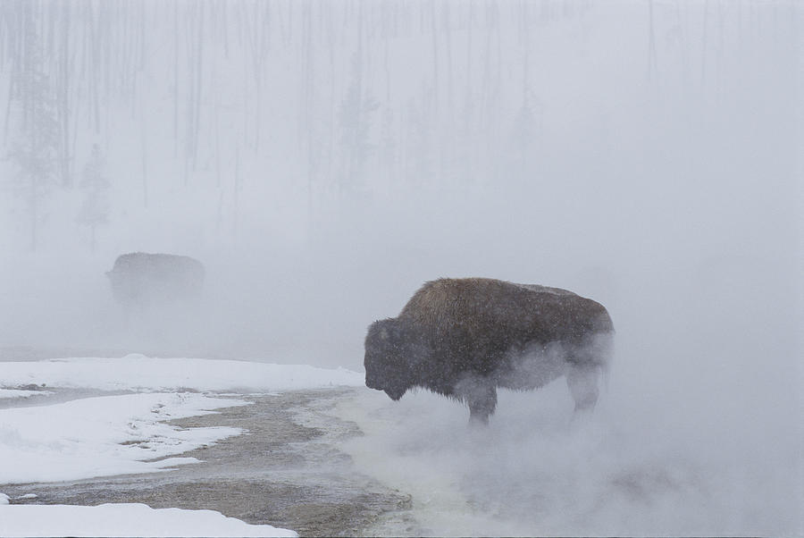 American Bison Bison Bison Graze Photograph