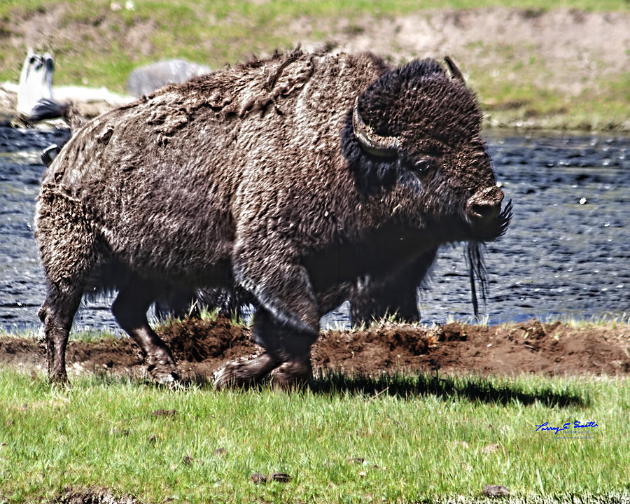 Bison Photograph - American Bison Img 8881   2012 by Torrey E Smith
