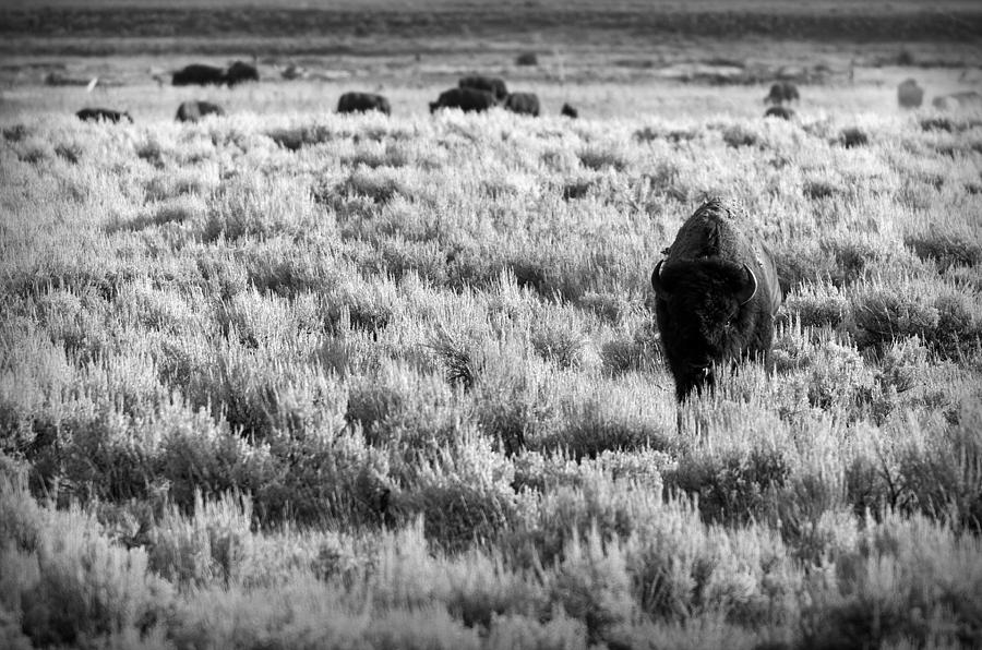 American Bison In Black And White Photograph