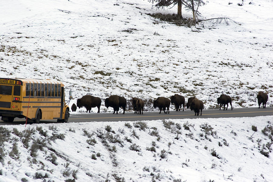 American Bison In The Road Halt Traffic Photograph