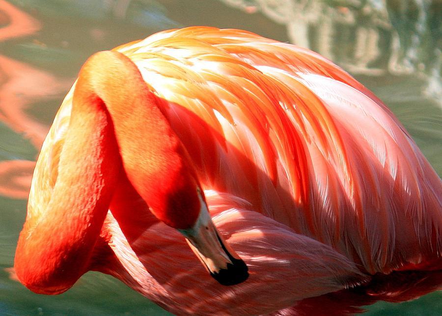 American flamingo painting - photo#28
