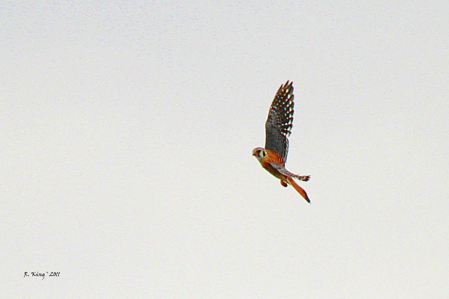 American Kestrel In Flight Photograph