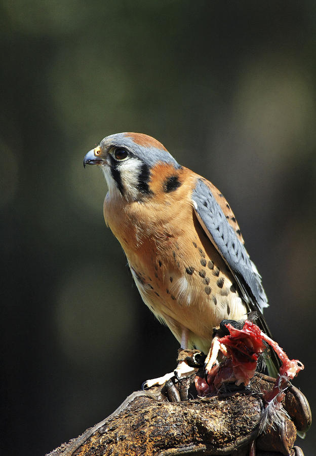 American Kestrel In Training Photograph  - American Kestrel In Training Fine Art Print