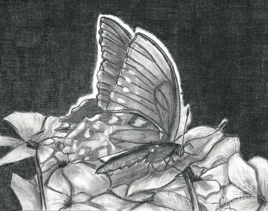 American Lady Butterfly And Impatiens Drawing  - American Lady Butterfly And Impatiens Fine Art Print