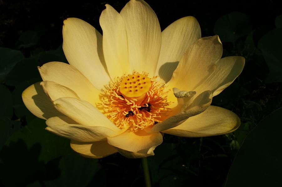 American Lotus Photograph