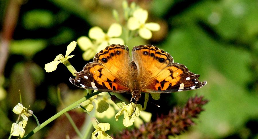 American Painted Lady I Photograph