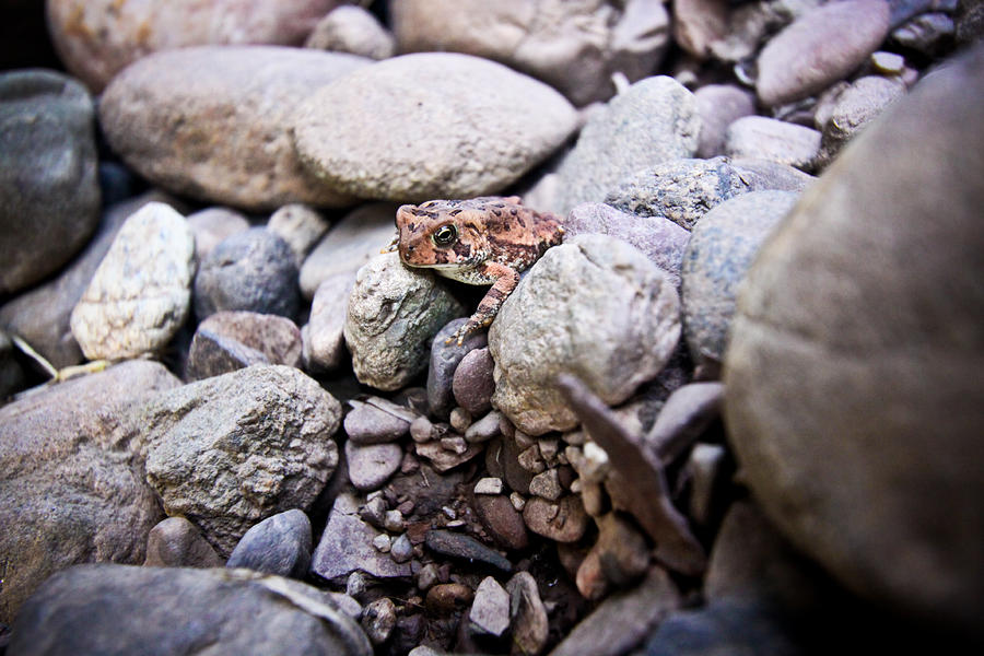 American Toad Photograph