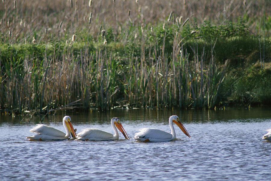 American White Pelicans Pelecanus Photograph