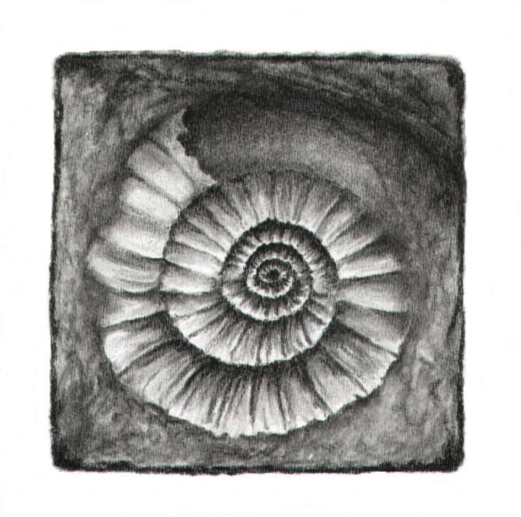 Ammonite Fossil Drawing  - Ammonite Fossil Fine Art Print