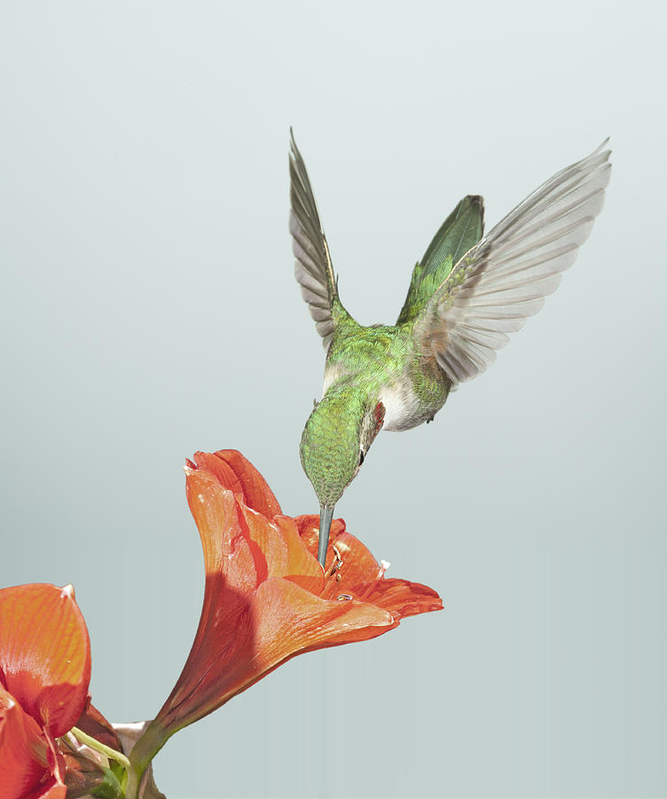 Amyrillis And Broadtailed Hummingbird Photograph  - Amyrillis And Broadtailed Hummingbird Fine Art Print