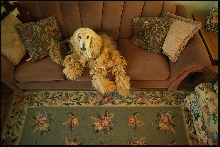 An Afghan Hound Lies On A Sofa Photograph  - An Afghan Hound Lies On A Sofa Fine Art Print