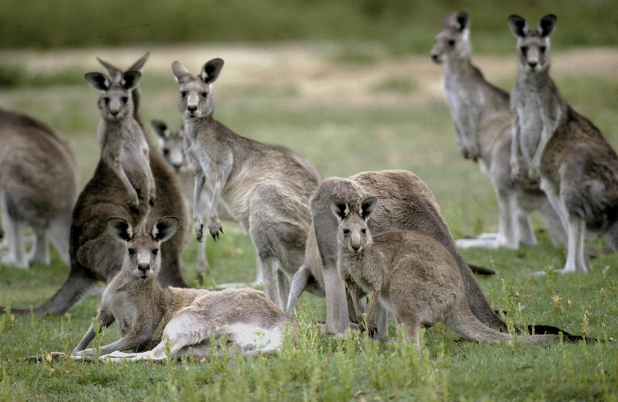 An Alert Mob Of Eastern Grey Kangaroos Photograph