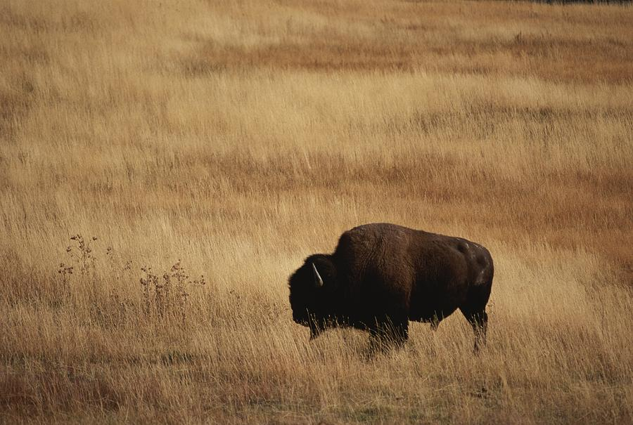 An American Bision In Golden Grassland Photograph