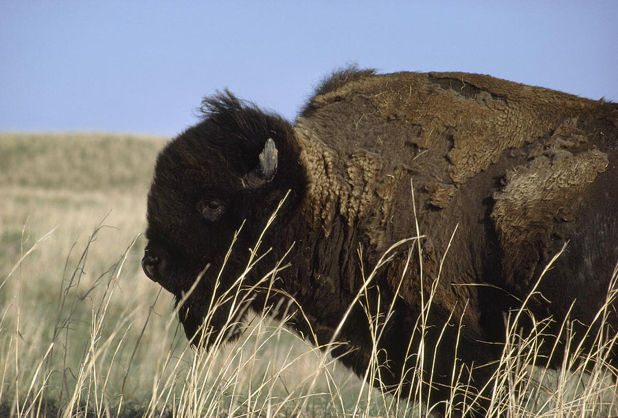 An American Bison Bison Bison Still Photograph  - An American Bison Bison Bison Still Fine Art Print