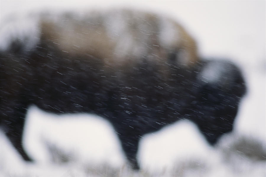 An American Bison Braves A Blizzard Photograph
