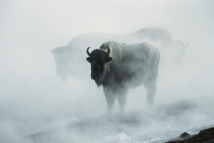 An American Bison Bull Bison Bison Photograph