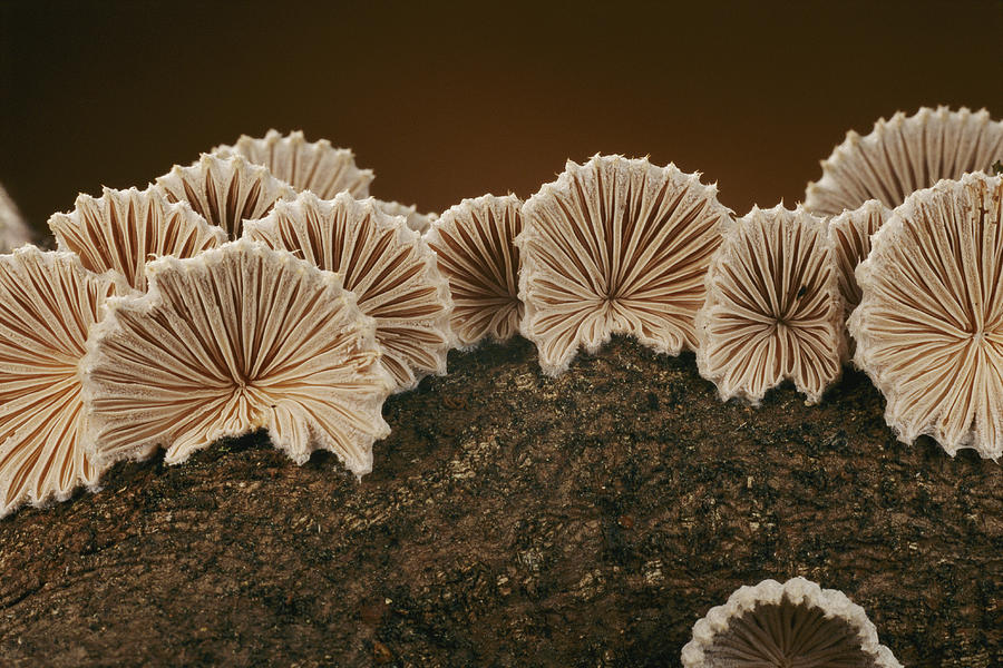 An Array Of Common Split Gill Mushrooms Photograph