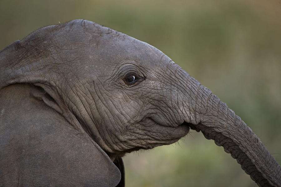 An Eight-month-old Elephant Calf Photograph  - An Eight-month-old Elephant Calf Fine Art Print