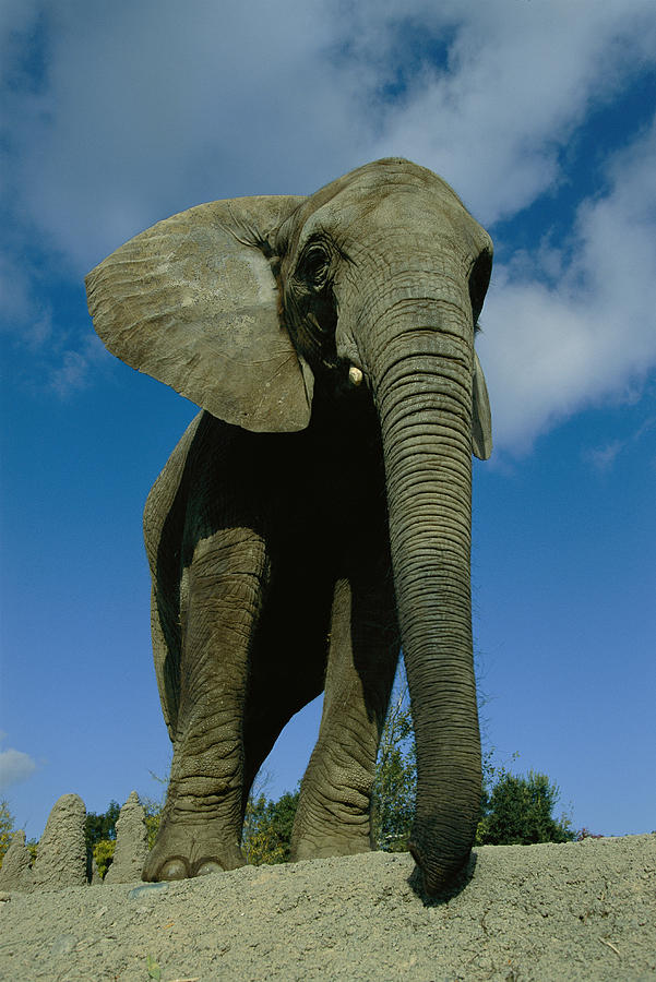 An Elephant At The Pittsburgh Zoo. This Photograph