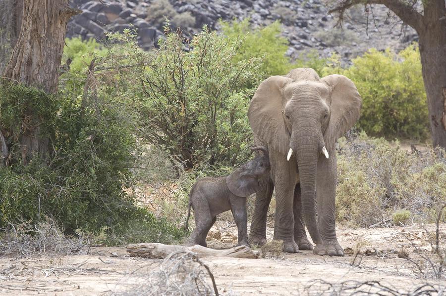An Elephant Feeding Her Newborn Calf Photograph
