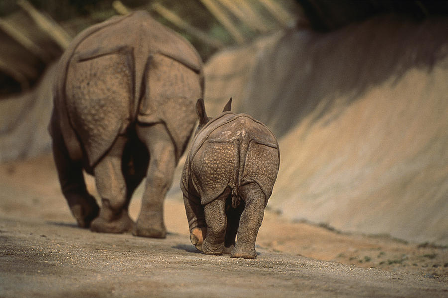 An Indian Rhinoceros And Her Baby Photograph