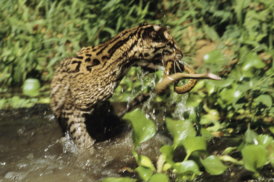an ocelot grabs an immature anaconda photograph by ed george