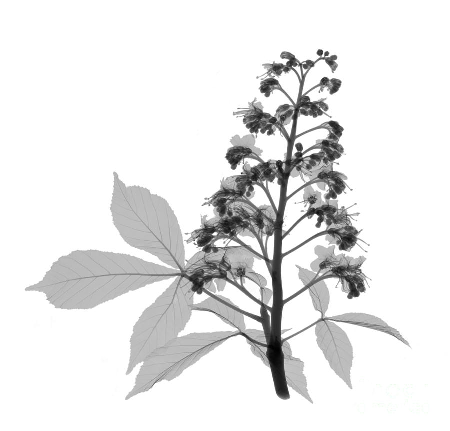 An X-ray Of A Chestnut Tree Flower Photograph