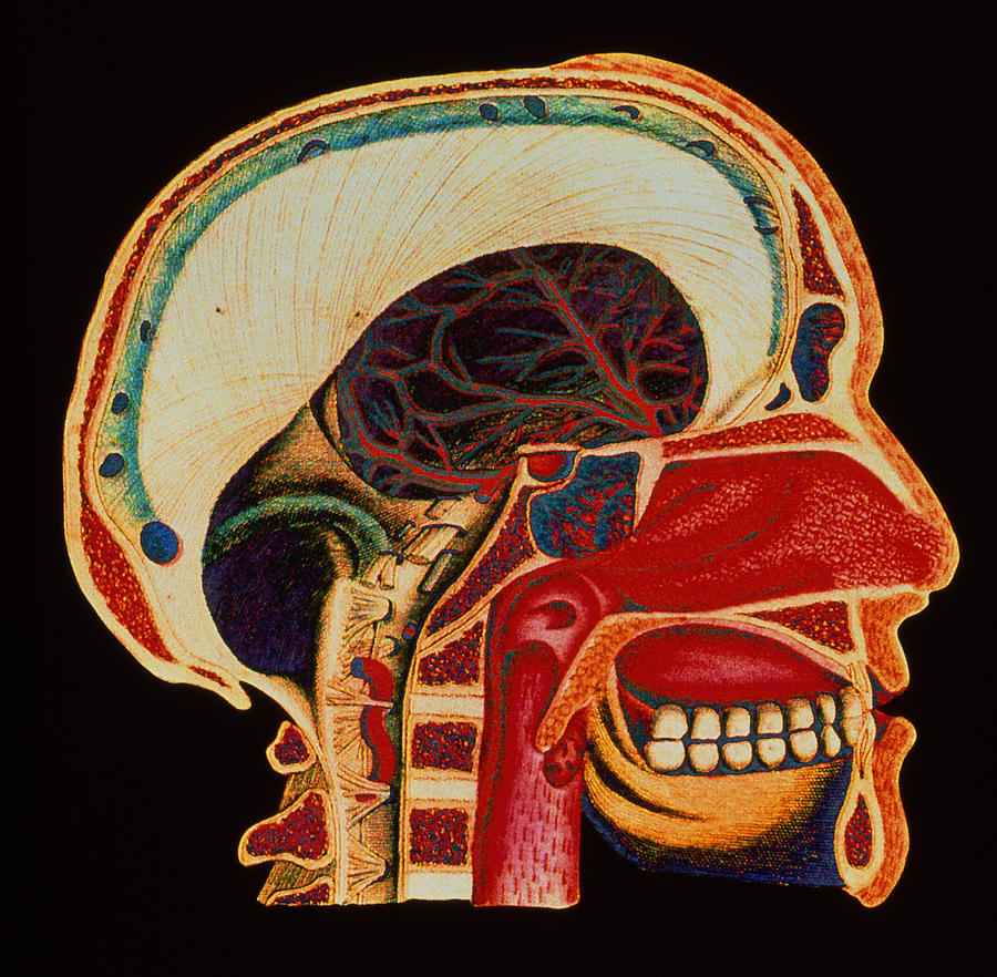 Anatomy Of Head Photograph  - Anatomy Of Head Fine Art Print