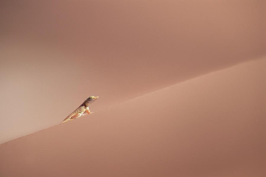 Anchietas Desert Lizard Meroles Photograph