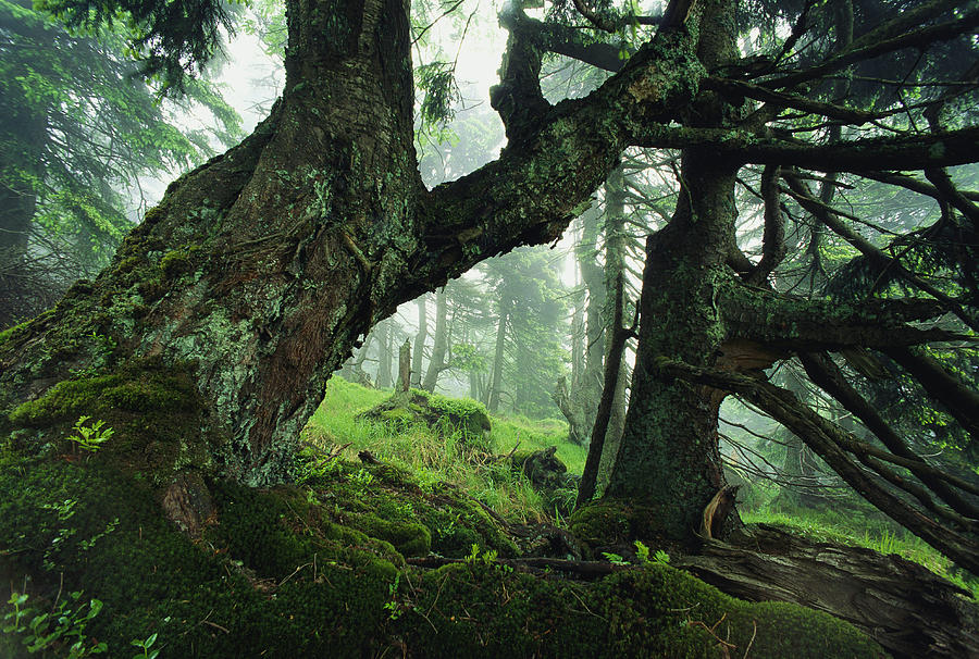 Ancient Fir Trees In Forest Photograph