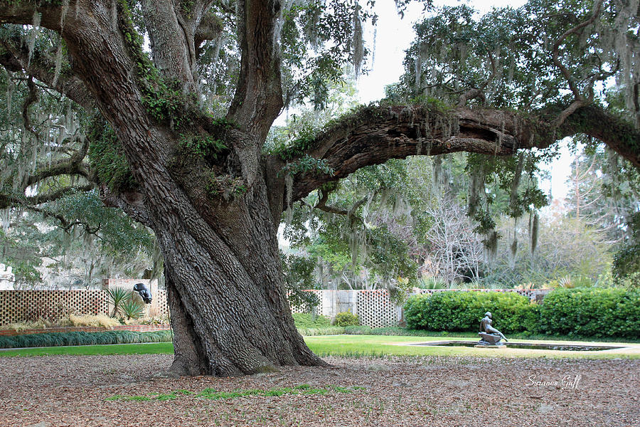 Ancient Live Oak Photograph  - Ancient Live Oak Fine Art Print