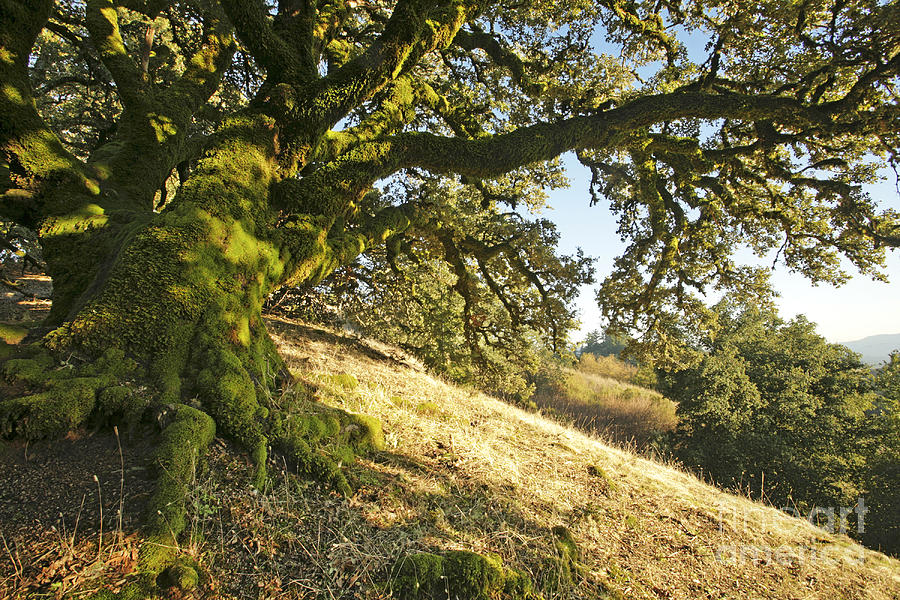Ancient Oak Photograph  - Ancient Oak Fine Art Print