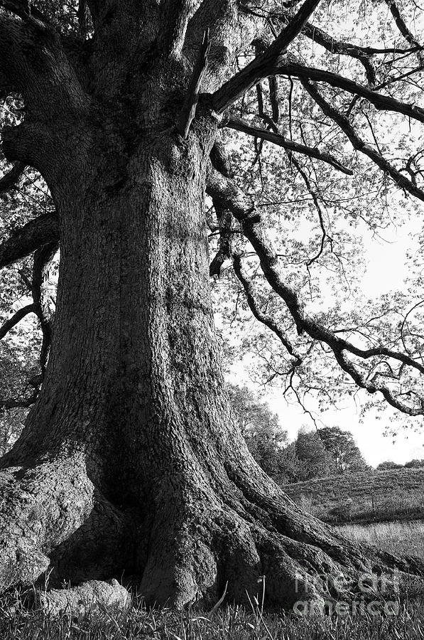 Ancient Oak Photograph